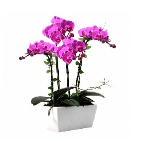 4 line of purple orchids
