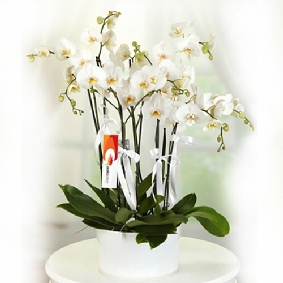 6 Branched white Phalaenopsis