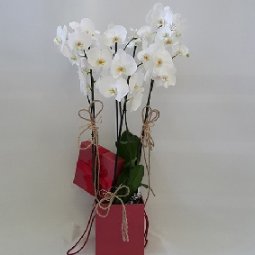 4 Branched Orchids